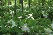 Curtis Michigan along with the entire Upper Peninsula has vast amounts of trillium and other foilage.  Trillum seeds are spread by ants.  Trillium is also known as wakerobin, tri flower and birthroot.